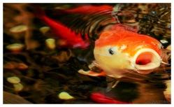 Yawning fish