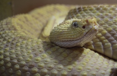 The Albino snake